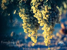 """Discover the Greek wine culture by visiting and observing! Book your room now and join our excursions and visits to the local wineries!   Live the experience of wine making and taste wines of great renown!  Only at Florida Blue Bay Resort and its """"Florida Blue Bay Eco Tourism"""" project!"""