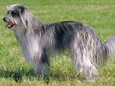 pyrenean shepherd photo | Pyrenean Shepherd dog pictures