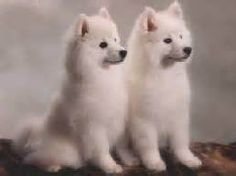 Miniature American Eskimo Dog Breed Information