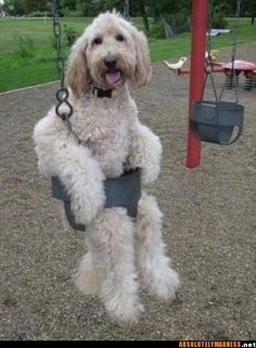 This labradoodle looks a lot like Bentley...how they got him in that swing is beyond me!