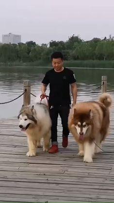 Alaskan Dog, Alaskan Malamute Puppies, Pomsky Dog, Malamute Husky, Alaskan Shepherd, Giant Alaskan Malamute, Cute Fluffy Dogs, Fluffy Puppies, Cute Puppies