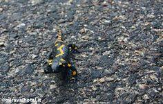 Salamandra pezzata #bosco #montagna #trentino