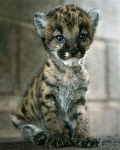 puma cub » Wildlife World Zoo &
