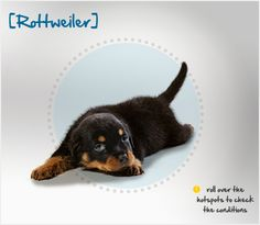 Did you know that when the Romans invaded Europe, the ancestors of the Rottweiler were the herding dogs they brought with them? Read more about this breed by visiting Petplan pet insurance's Condition Checker!
