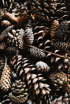pinecones a plenty