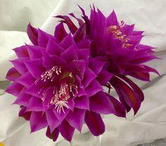 Epiphyllum Oberon