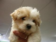 Rosey is an adoptable Maltese Dog in Amelia, OH.  ...