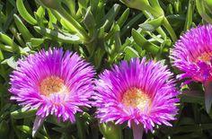 Plantes d/'ornement Creeper très parfumée tire-bouchon escargot Vigne Graines Vigna Caracalla