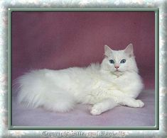 own a pure white bright blue eyed ragdoll cat