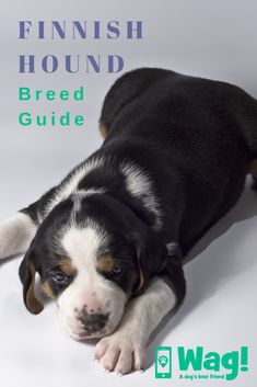 Whether you own a Finnish Hound or you're thinking of getting one, here is our complete breed guide! Click to read everything you need to know about Finnish Hounds! #finnishhound #dogbreeds #finland #huntingdog #adorable #friendly #stubborn #dogs #englishfoxhound #frenchhound #germanhound #crossbreed Dog Best Friend, Best Friends, Doggies, Dogs And Puppies, English Foxhound, Hound Dog Breeds, Popular Dog Breeds, Dog Hacks, Hunting Dogs