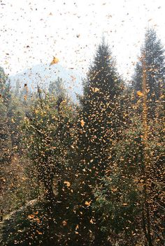 Monarch butterfly migration at Cerro Pelon Sanctuary in Mexico
