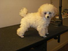 """Toy Poodle Haircuts 