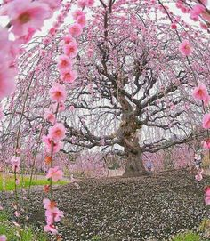 200 years old Ume plum tree at Suzuka Forest Garden Japan Fast Crazy Nature Deals. Flor Magnolia, Cherry Blossom Season, Cherry Blossoms, Plum Tree, Unique Trees, Forest Garden, Jolie Photo, Spring Is Here, Flowering Trees