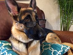 Scout looking very intelligent.