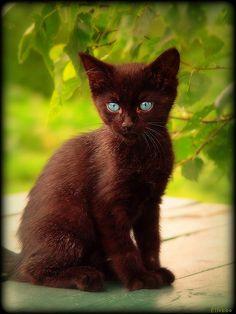 Gorgeous brown kitty