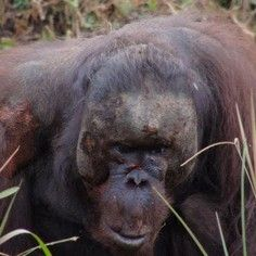STOP THE GENOCIDE OF ORANGUTANS The palm oil industry has over decades killed tens of thousands of orangutans and millions of other animals.    This must stop now, while there are still some orangutans left.    Between 3000-5000 orangutans have been killed annually for the past 25 years.