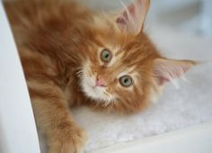 Photos and biography of Samson the kitten(s) of the day on January Orange And White Cat, White Cats, Ginger Kitten, Ginger Cats, Orange Tabby Cats, Red Cat, I Love Cats, Cool Cats, Kittens Cutest