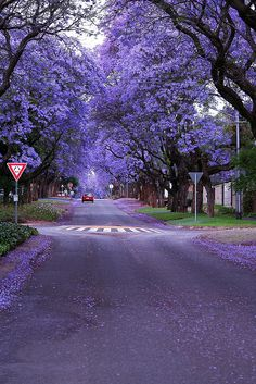 Jacaranda Trees by AlfroShams Digital Photos, via Flickr