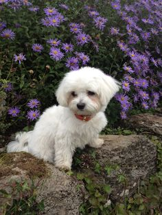 Maltese amongst the flowers