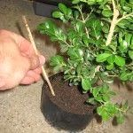 Step By Step How to Make a #Bonsai Tree, Pictures of Japanese…