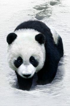 Tener un oso panda