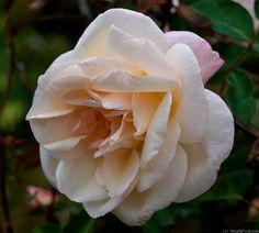 G. Nabonnand est l'un des types les plus parfaits dans le genre thé : un coloris délicieux, rose très délicatement ombré de jaune ; un bouton parfait ; une fleur ouverte, aux pétales grands et nombreux, disposés en coupe ; une forte et douce fragrance, un arbuste très vigoureux (1,50 m) au feuillage d'un beau vert ; et surtout, les fleurs remontent continuellement de juin à novembre. Thé. Nabonnand, 1888.