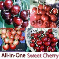 Sweet Cherries, 3 on 1 Multiple Grafted Fruit Tree