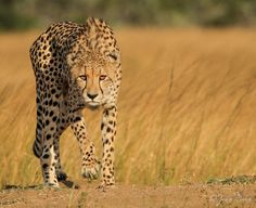 The above image is not a very clear representation of the prey - predator relationship because the prey is not shown in the image but the predator, which is the cheetah is seen stalking its off-camera prey.