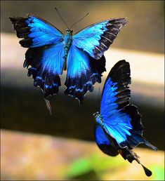 (Ulysses Butterfly) I love the colors of butterflies. if I got a butterfly tattoo I would use these exact color & details.