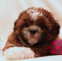 LillyBits Shichon Puppies