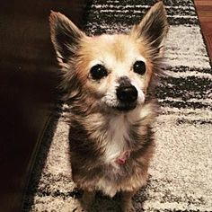 Pictures of Foxy a Chihuahua for adoption in New York, NY who needs a loving home.