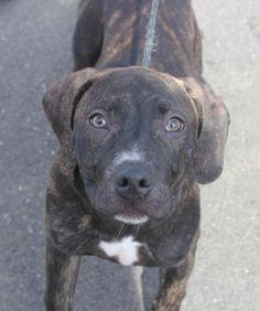 ❤️️❤️️❤️️ADOPTED❤️️❤️️❤️️ BROOKLYN - 5 months old - Pit Bull Terrier Mix - 244176 - #244176 - FOR MORE PICS, VIDEOS & INFO: http://www.dogsindanger.com/dog/1490504016021