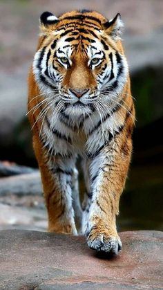 Tiger wallpaper by georgekev - 33 - Free on ZEDGE™ Movies Wallpaper, Cats Wallpaper, Wild Animal Wallpaper, Apple Wallpaper, Tiger Images, Tiger Pictures, Lion Images, Angry Tiger, Pet Tiger