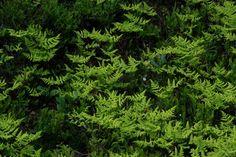 Metsäimarre Helsinki, Parsley, Herbs, Herb, Medicinal Plants