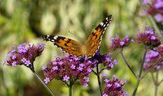 Plants to attract Butterflies - News - Ardcarne Garden Centre - Leading Garden Centre, Landscaping and Design Service - Roscommon -Sligo- Leitrim - Ireland