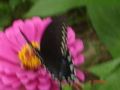Zinnias in my garden.  The butterfly is only visiting....