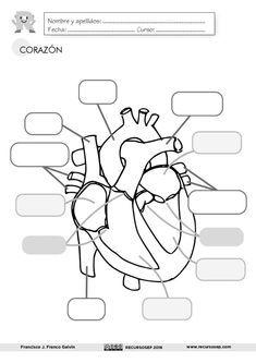 Infantil y Primaria: Lámina el Corazón Biology Lessons, Science Biology, Science Education, Teaching Biology, Nursing School Tips, Nursing Notes, Nursing Schools, Medicine Student, Medical Anatomy