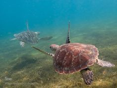 socialfoto:  Green Turtle Green turtles in the Cousteau Marine Park in Guadeloupe by souslevent971