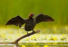 Microcarbo pygmeus - Pygmy cormorant - Dwergaalscholver)