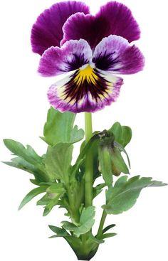 "Photo from album ""Анютины глазки"" on Yandex. Butterfly Flowers, Flower Art, Paper Flowers, Beautiful Flowers, Ikebana, Art Floral, Fleur Pansy, Flower Pictures, Pansies"