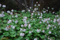 Jag vill tipsa om en alldeles förnämlig marktäckare som heter liten flocknäva. Geranium x cantabrigiense 'St Ola'. Den blommar i juni-juli med ljust rosa blommor. Men det som är intressant med den här