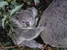 Koala baby - sooo cute!