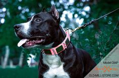 Glamour Pink Walking Leather Amstaff Collar