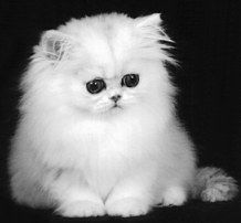 Chinchilla Persian. Rivers needs a friend and I think this will be her next companion. I love that their eyelid color is black. It looks like they always have on eyeliner