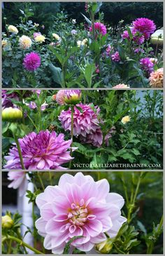 Photos of the flower garden and my favorite dahlias… so bright and colorful and great for cutting!