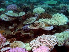 Des coraux dans le lagon de Mayotte