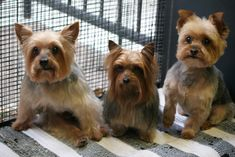 Three different hairstyles for #yorkies