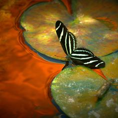 Longwing Butterfly  Title: Liquid Gold