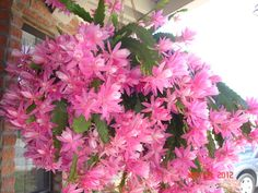"Epiphyllum ""German Empress"""