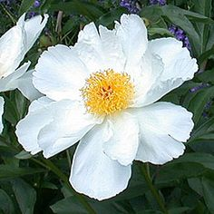 Krinkled white peony. This is probably the finest of all the white singles; flowers are large and numerous; open a delicate pink, but soon become a pure, translucent white; petals are large and crinkled like crepe paper; small tuft of golden stamens in the centre; stands up well in the rain; light green foliage; strong, slender stems — seldom needs staking; excellent cut flower; usually quite inexpensive